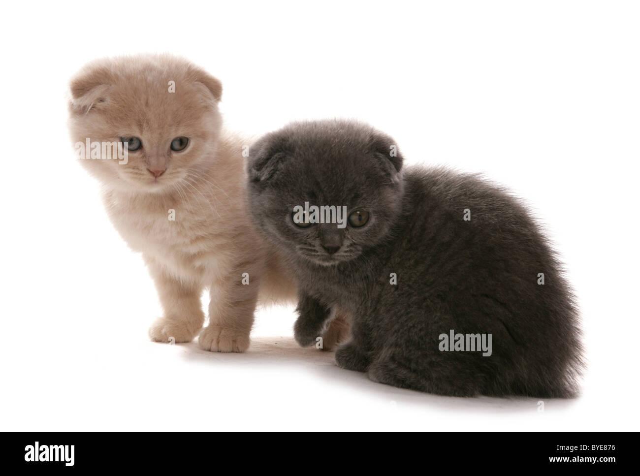 Scottish Fold blue and cream kittens Sitting Portrait Studio - Stock Image