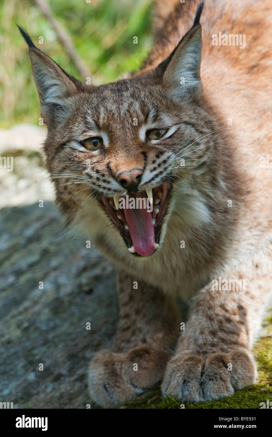 Eurasian Lynx (Lynx lynx), showing teeth and tongue, aggressive behavior, Sweden, Europe - Stock Image
