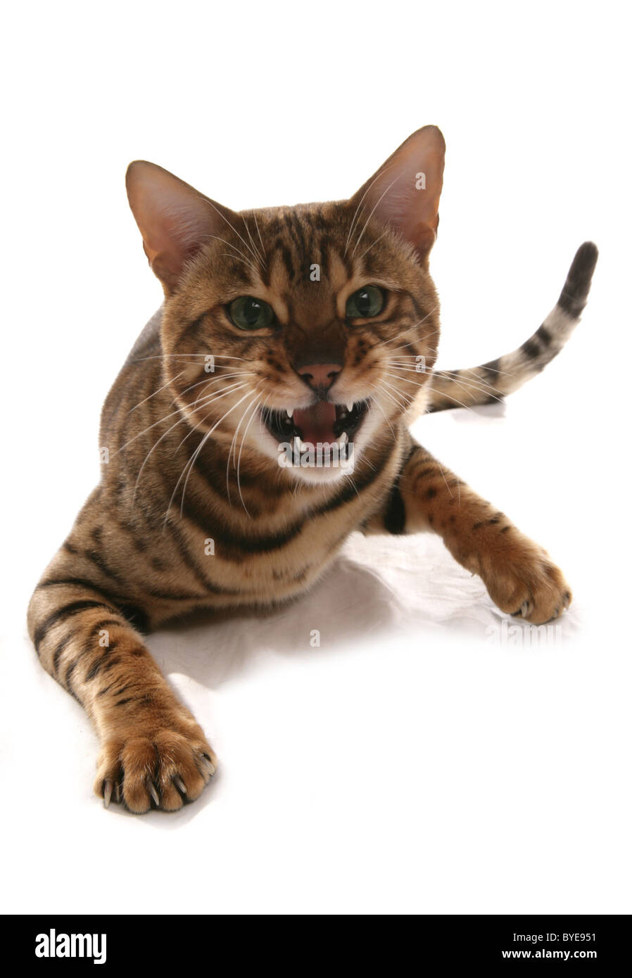 Angry Rosetted Bengal Cat Sitting Portrait Studio - Stock Image