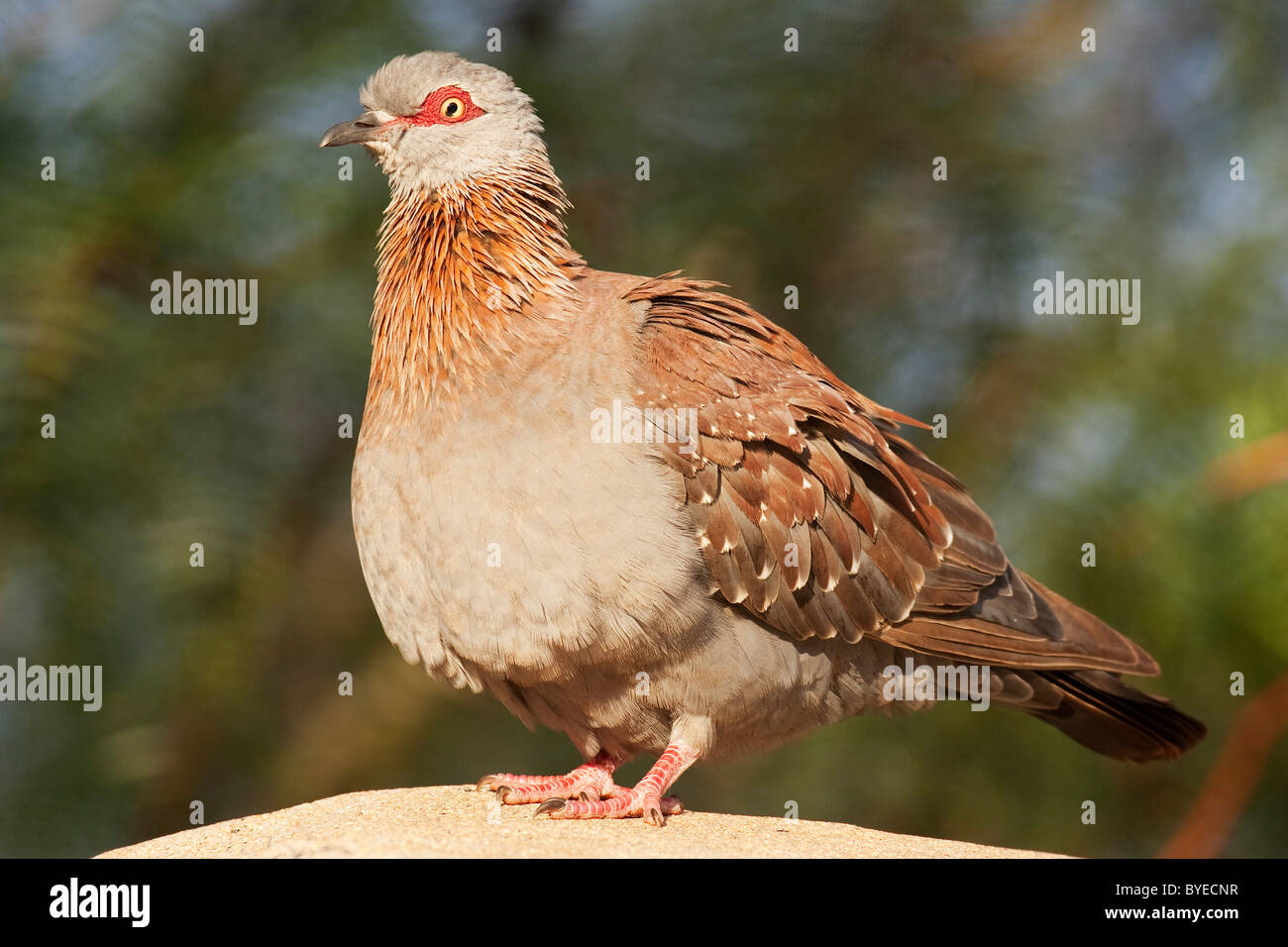 Speckled Pigeon (Columba guinea) standing on a rock. Stock Photo