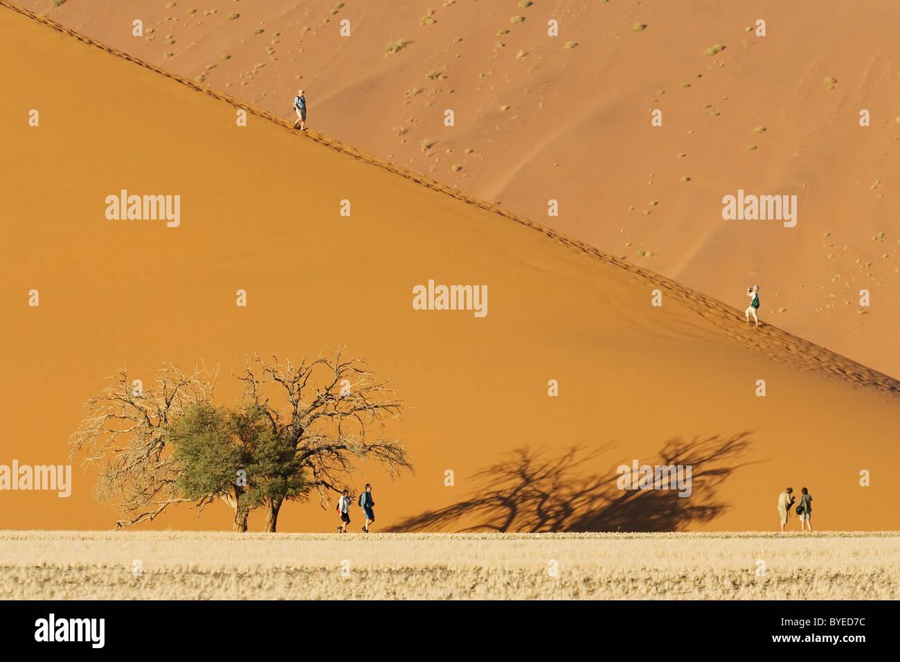 Tourists at a sand dune with Camelthorn tree (Acacia erioloba) in the Namib Desert. Namib-Naukluft Park, Namibia. - Stock Image