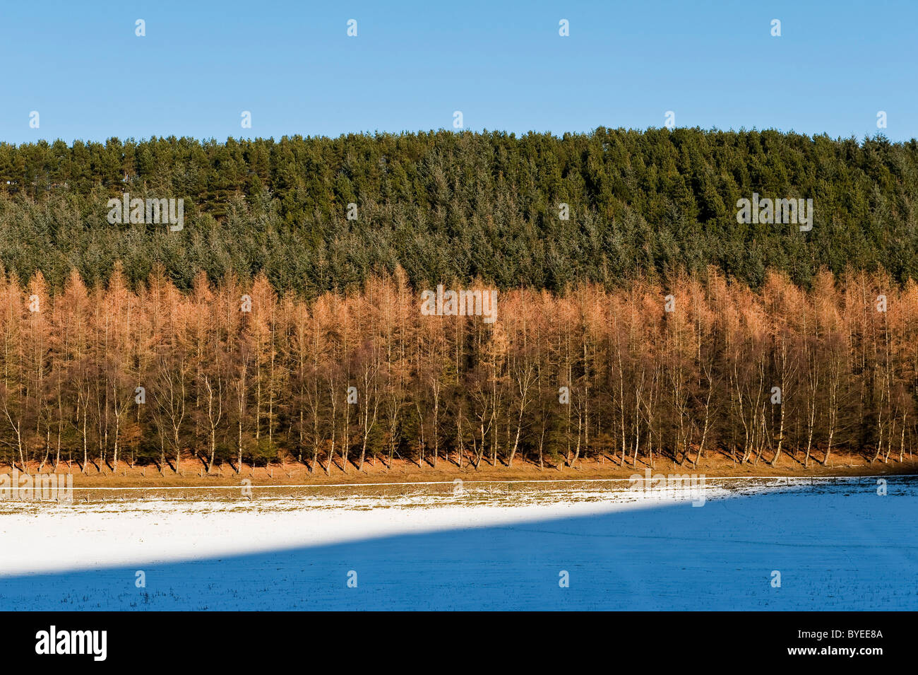 Woodland in mid-Wales, winter. Larches and conifers Stock Photo