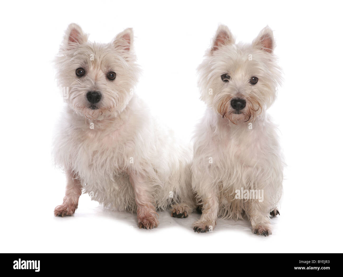 Two White West Highland Terriers Sitting Studio - Stock Image