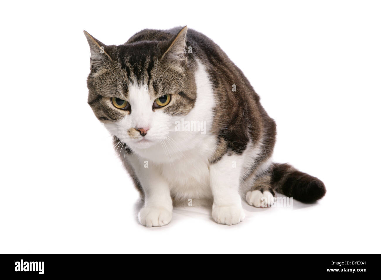 tabby and white cat hunched sitting studio - Stock Image