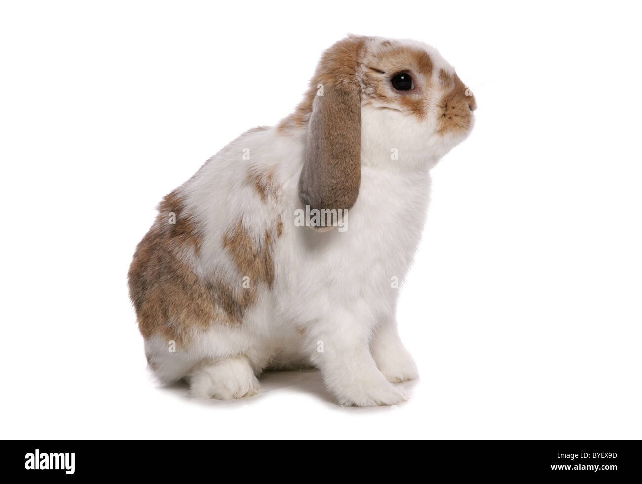 french lop eared rabbit sitting studio - Stock Image