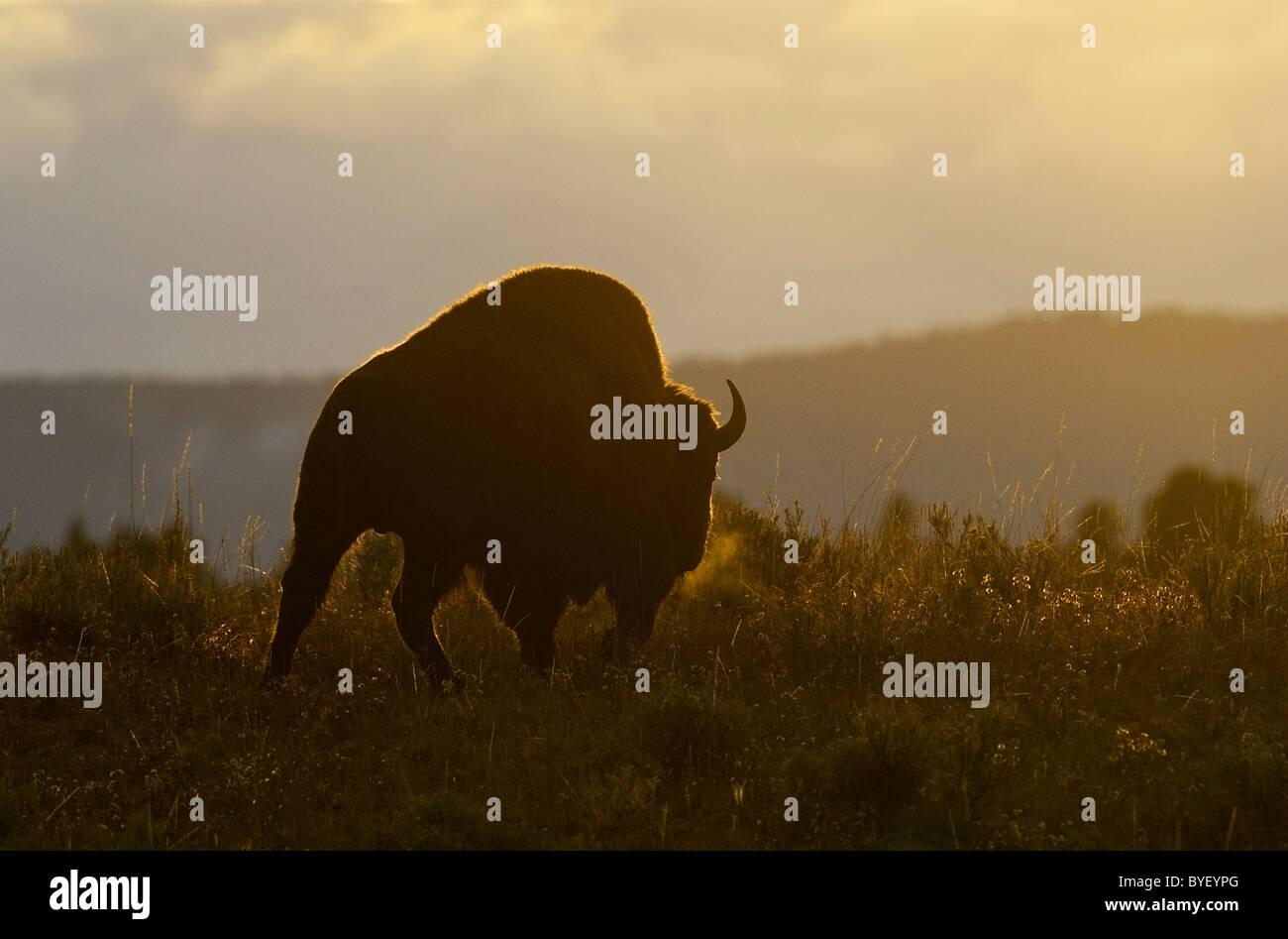 Buffalo Bull at Sunrise - Stock Image