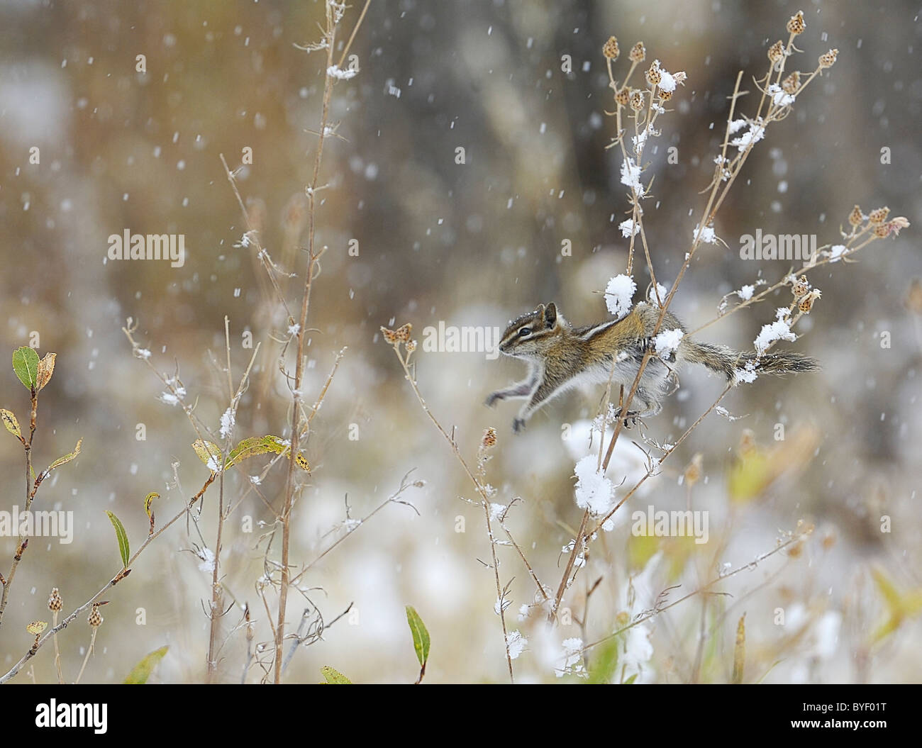 Least Chipmunk jumping stalks in low bushes during snowstorm. Stock Photo