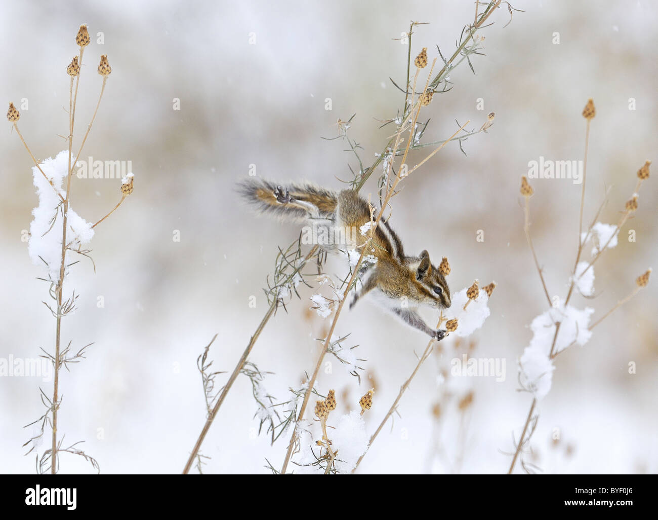 Least Chipmunk feeding on seeds in low bushes during snowstorm. - Stock Image