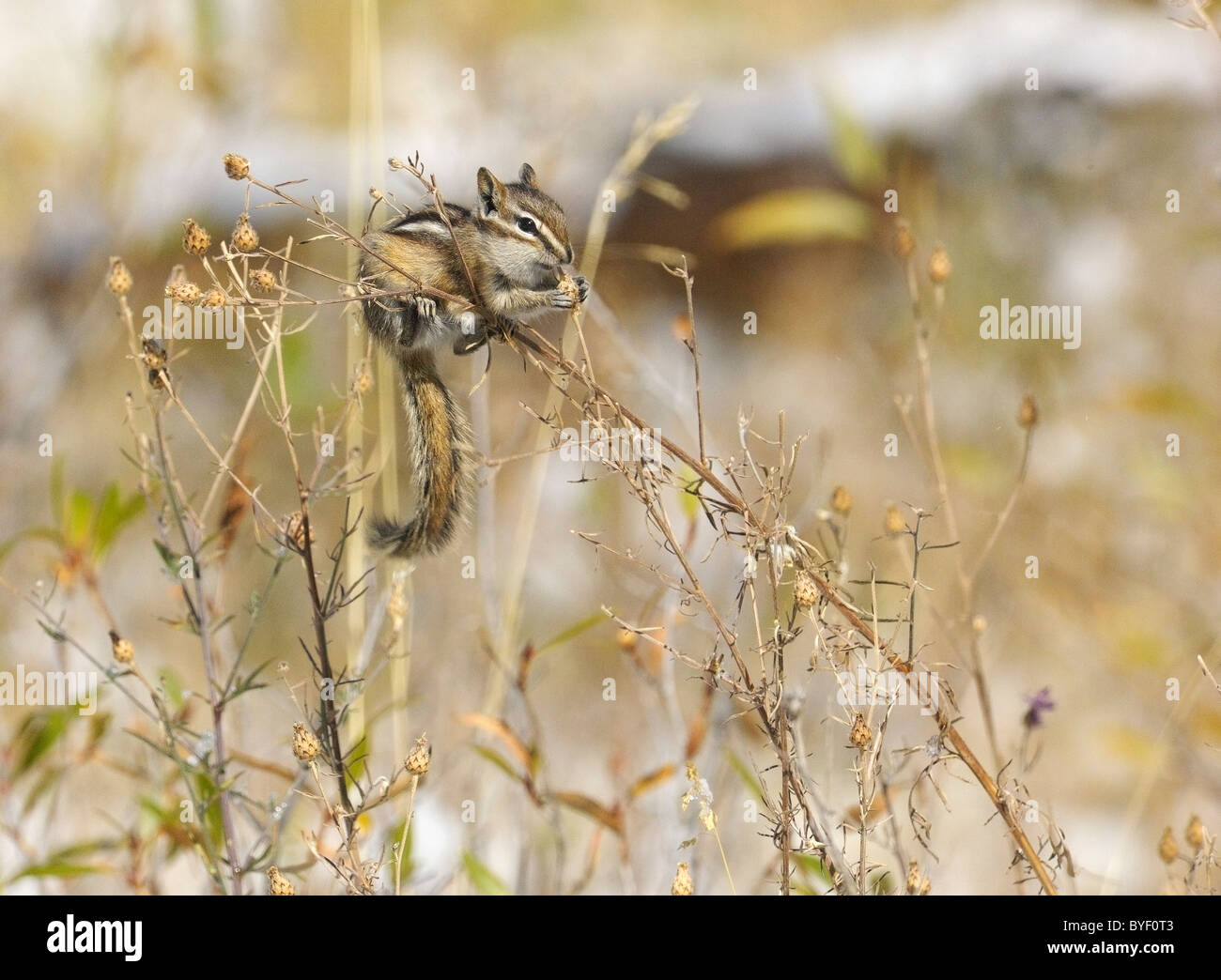 Least Chipmunk feeding on seeds in low bushes. - Stock Image