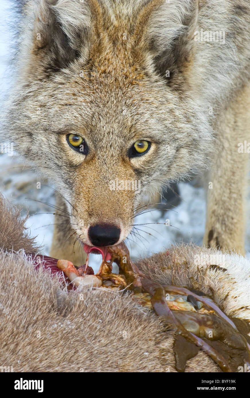 A close up image of an adult coyote feeding on the body of a dead baby Bighorn Sheep. - Stock Image