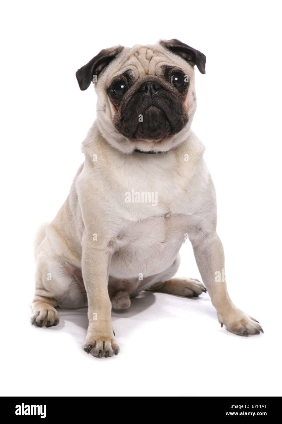 pug dog sitting studio - Stock Image