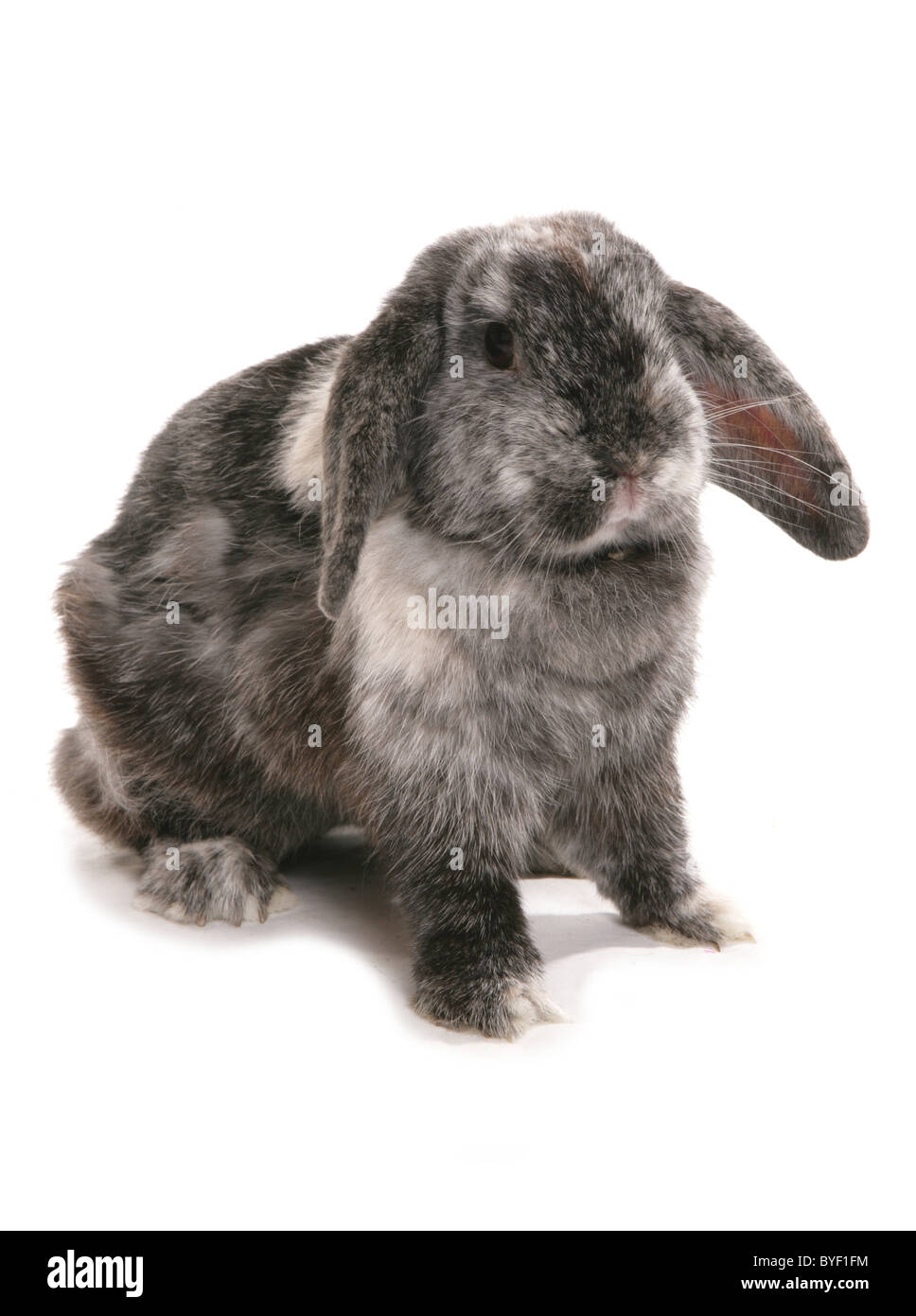 lop eared rabbit studio - Stock Image