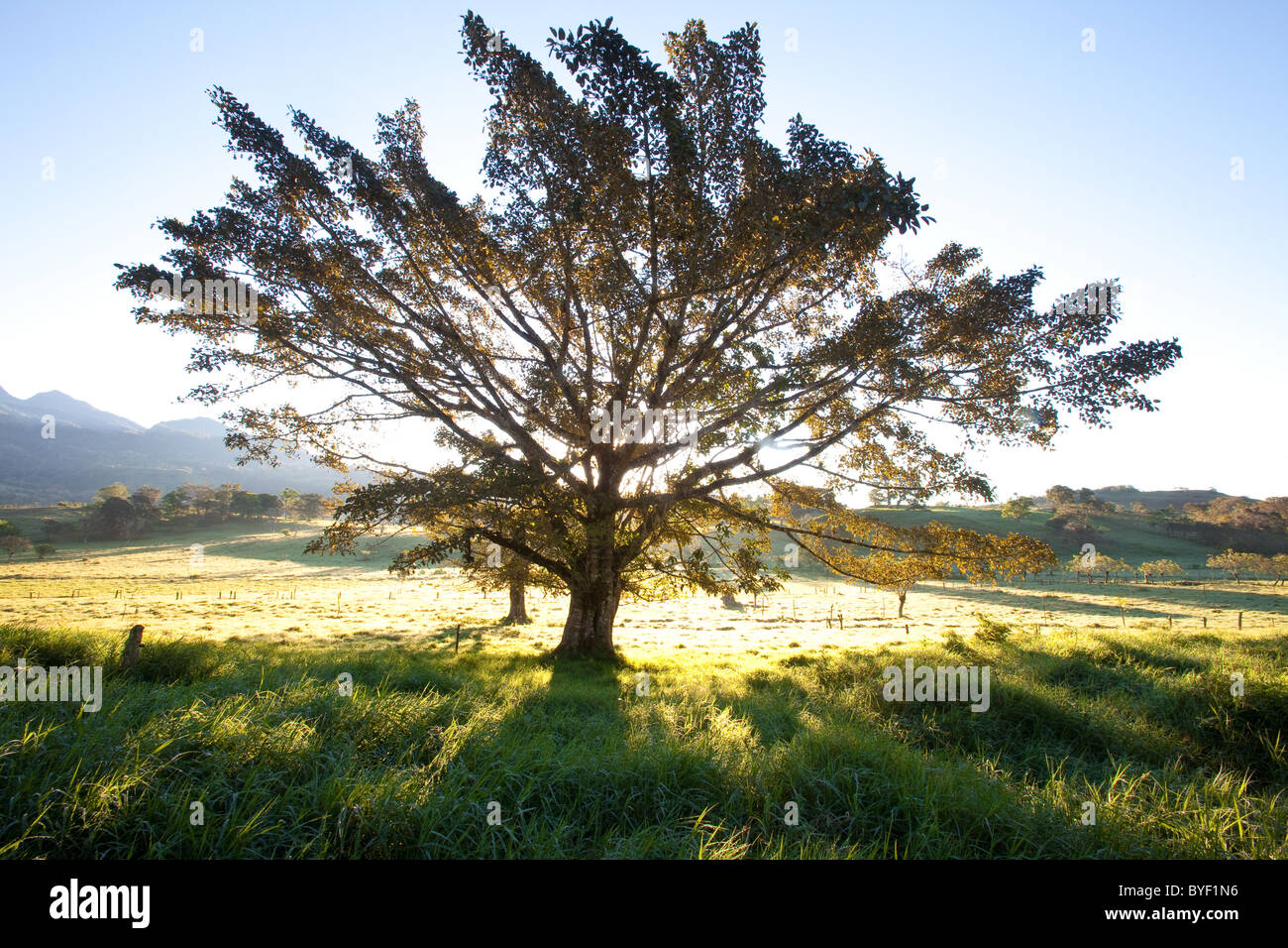 Tree at sunrise,at Volcan in Chiriqui province, Republic of Panama. - Stock Image