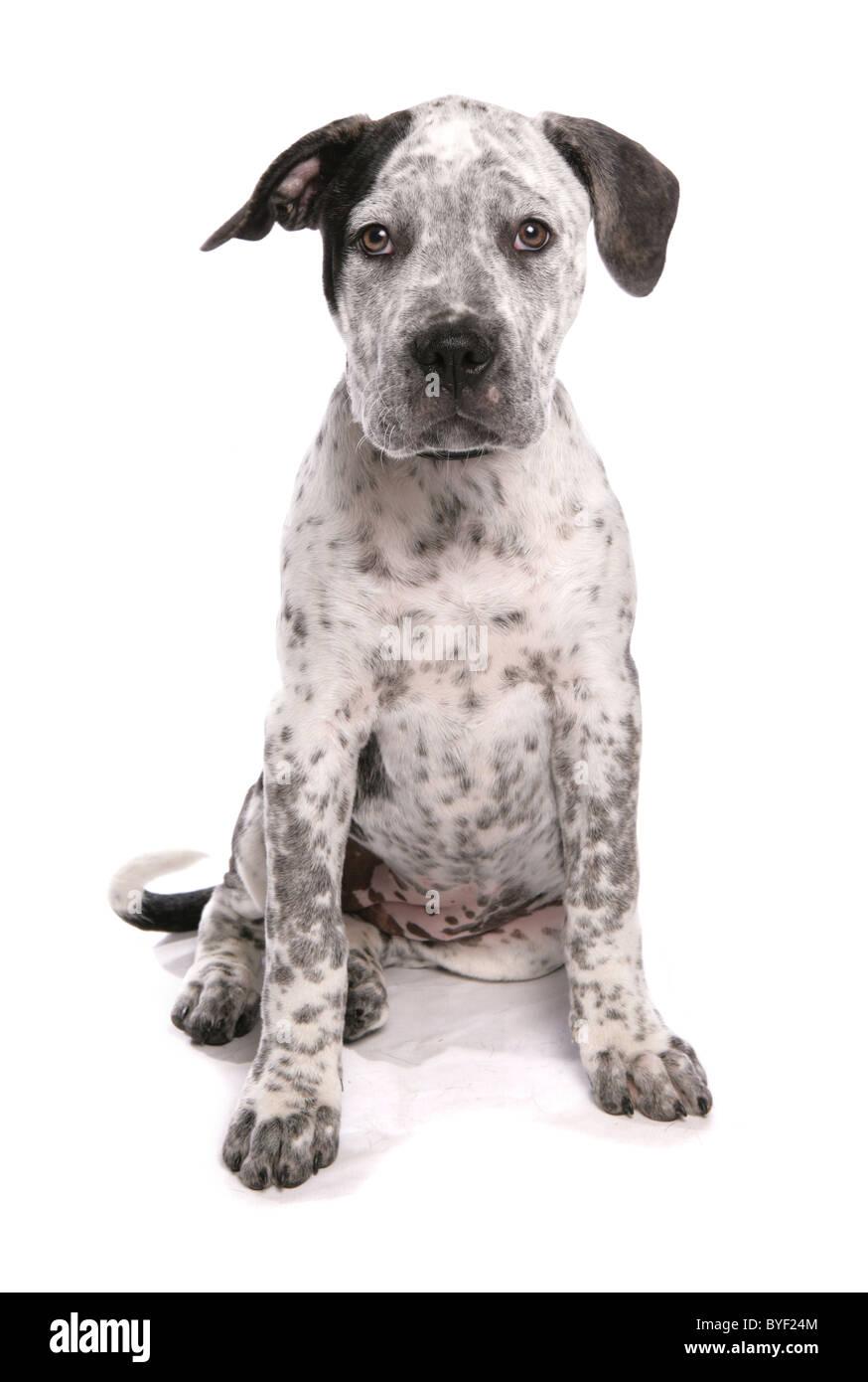 staffordshire bull terrier cross american bulldog puppy sitting studio - Stock Image