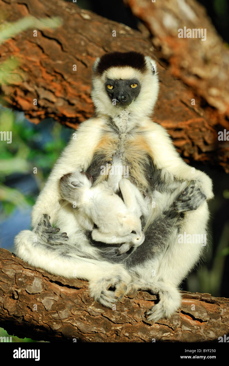 Tired Mother Verreaux's Sifaka (Propithecus verreauxi) with her baby, Madagascar - Stock Image