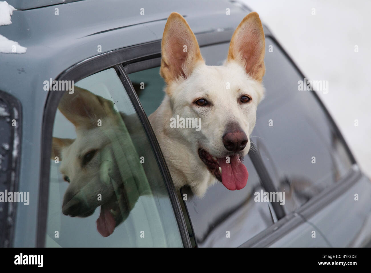 White German shepherd dog riding in car with head out car window - Stock Image
