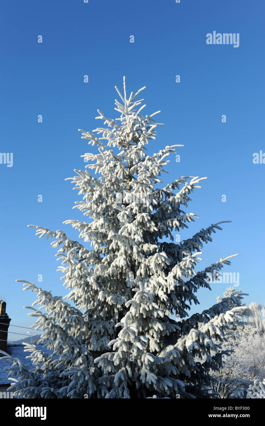 Fir tree covered in hoar frost - Stock Image