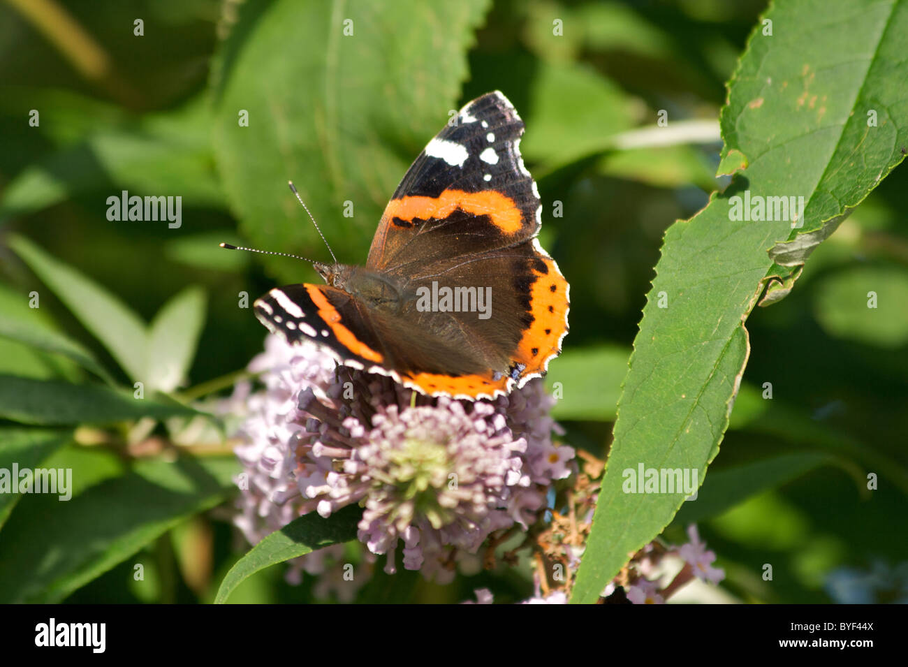 Red Admiral butterfly (Vanessa atalanta) on Buddlea flowers (Buddleia davidii) also known as 'butterfly bush' - Stock Image