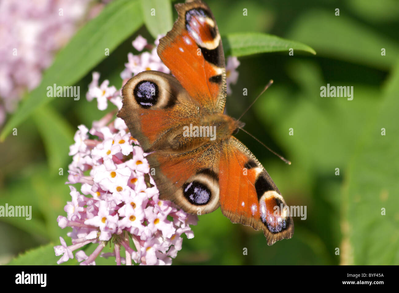 Peacock butterfly (Inachis io) on Buddlea flowers (Buddleia davidii) also known as 'butterfly bush' - Stock Image