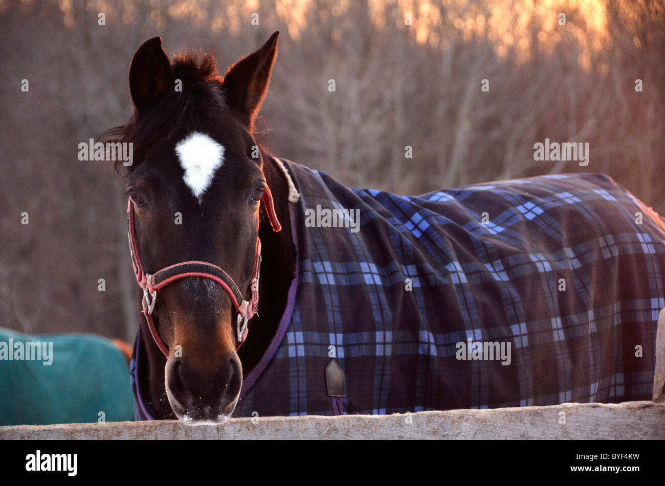 Blanketed Morgan gelding horse outside late afternoon in winter - Stock Image
