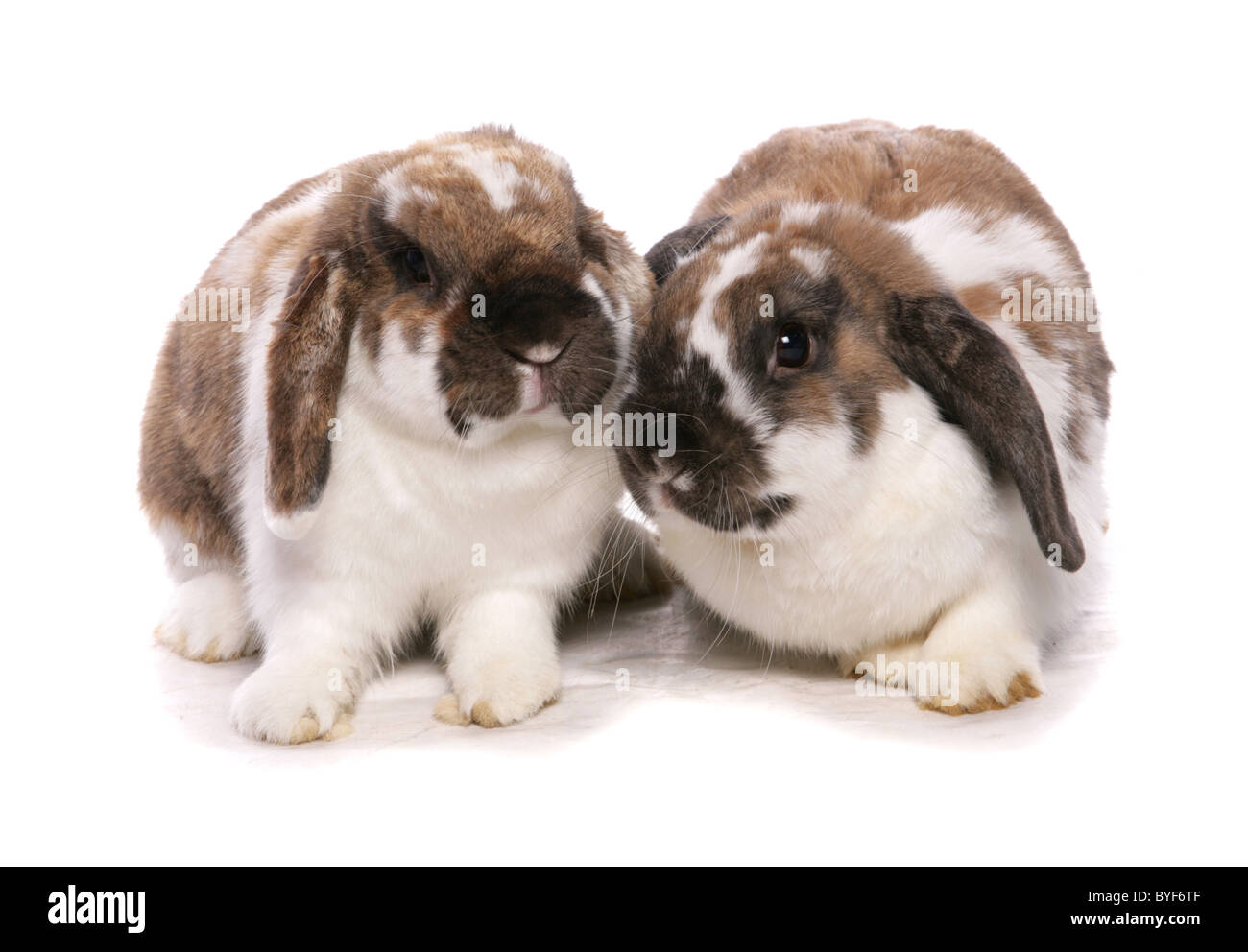 two lop eared rabbits sitting studio - Stock Image