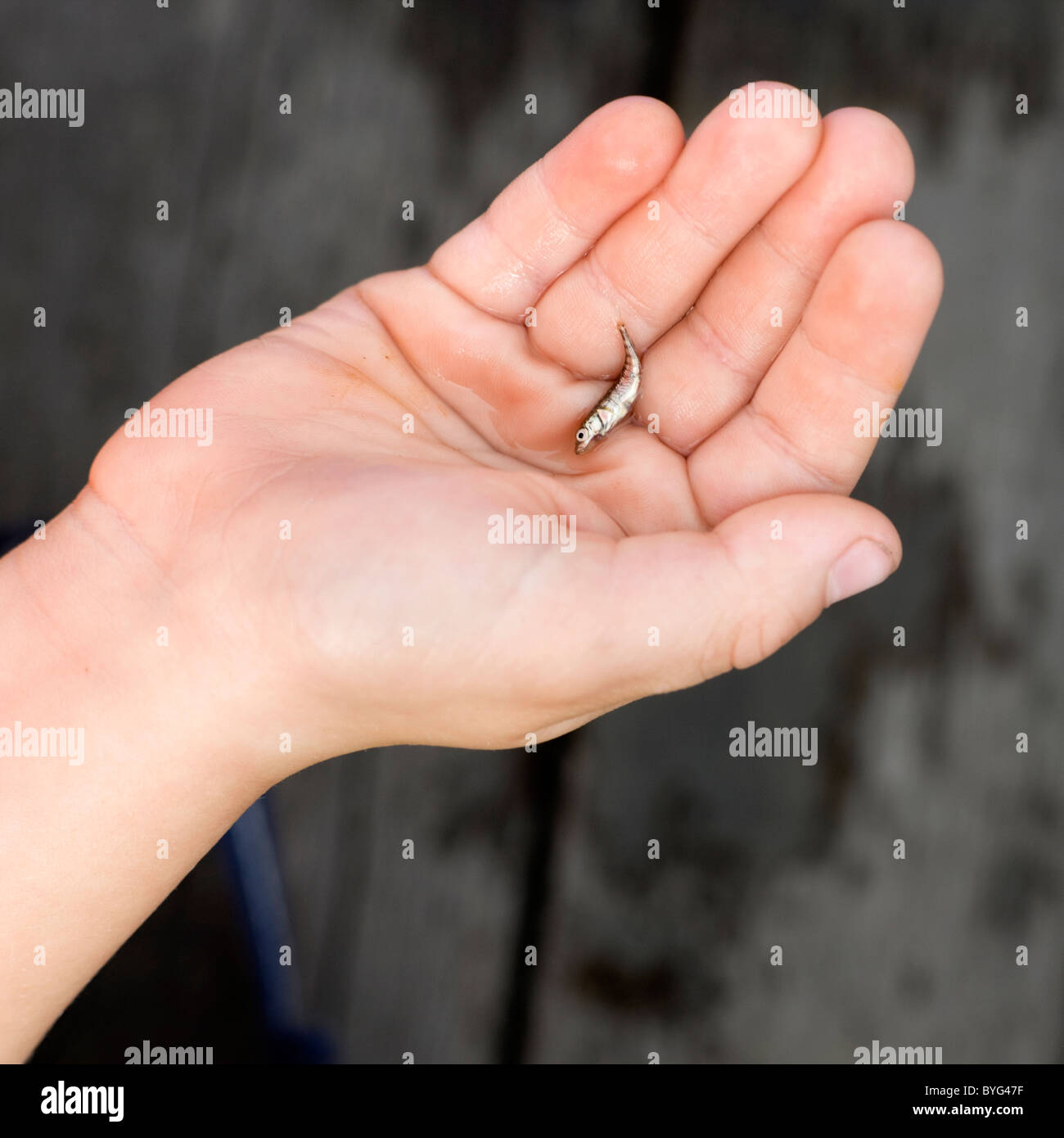 Hand holding minute fish - Stock Image