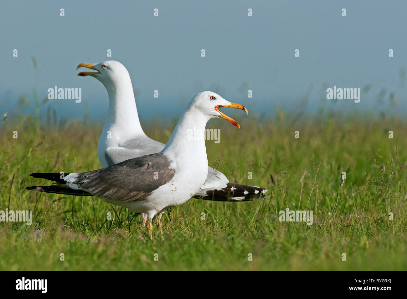 Lesser Black-backed Gull (Larus fuscus). Calling adult in summer plumage standing on grass with Herring Gull (Larus Stock Photo