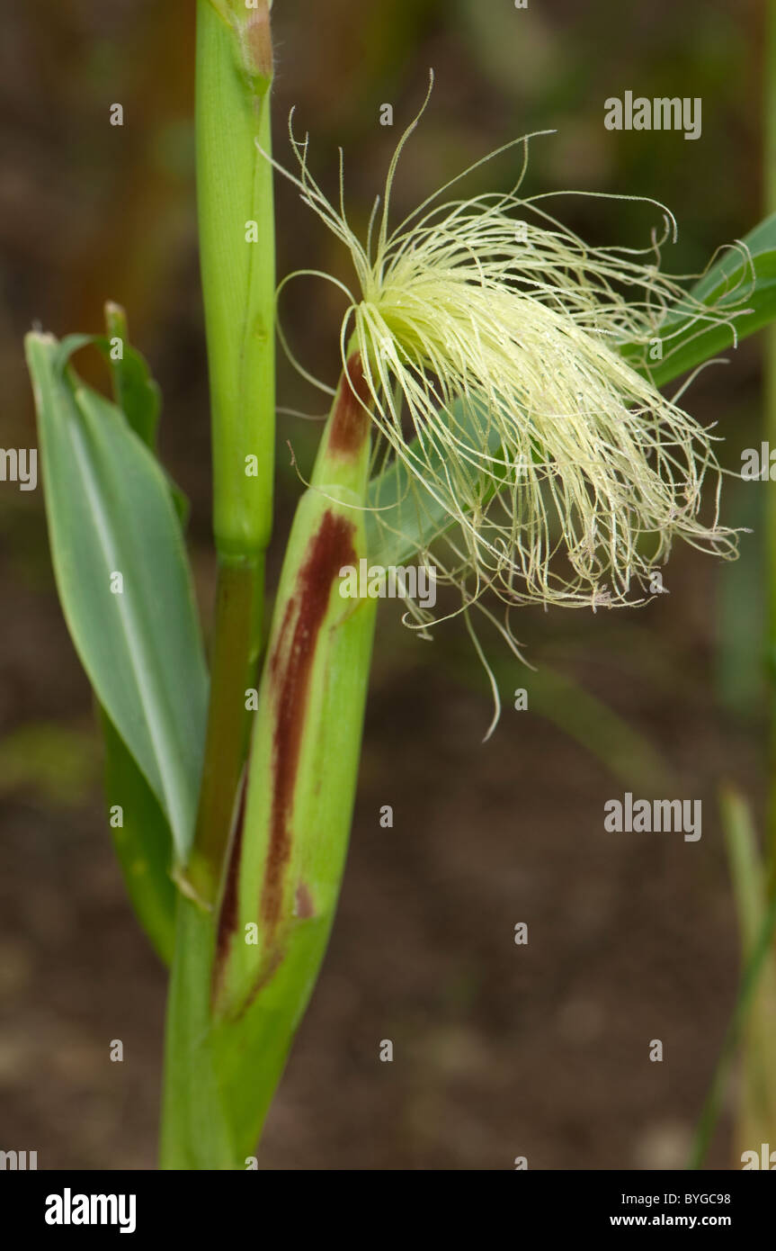 Maize, Corn (Zea mays). Stalk with female inflorescence with young silk. - Stock Image