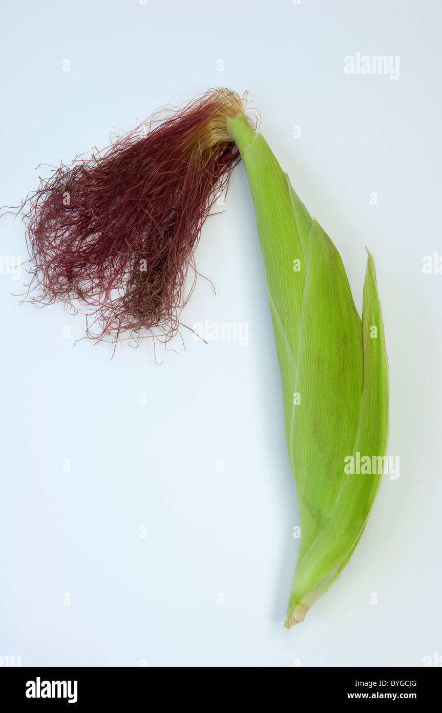 Maize, Corn (Zea mays). Female inflorescence. Studio picture against a white background. - Stock Image