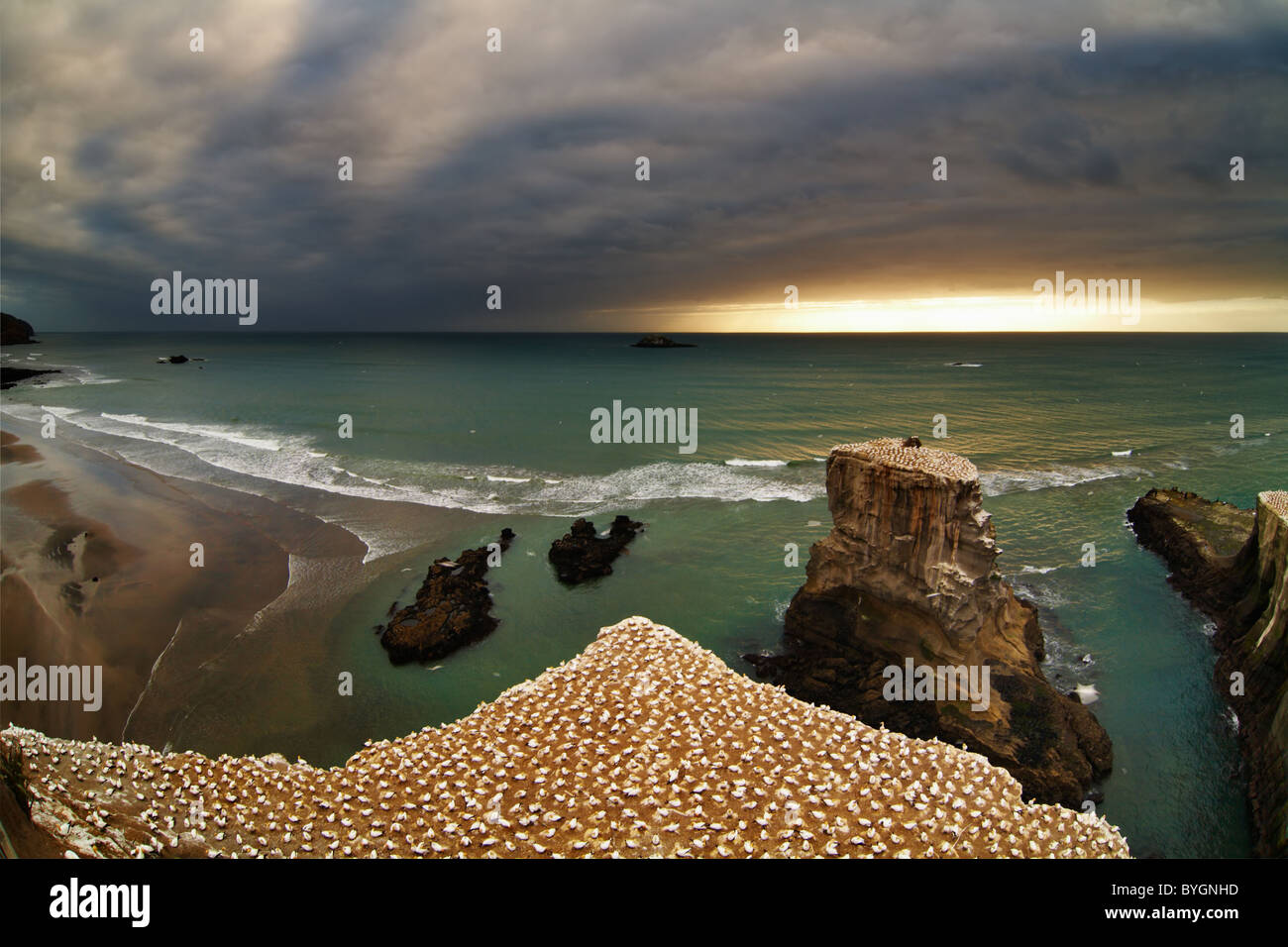 Gannet colony, Muriwai Beach, New Zealand - Stock Image