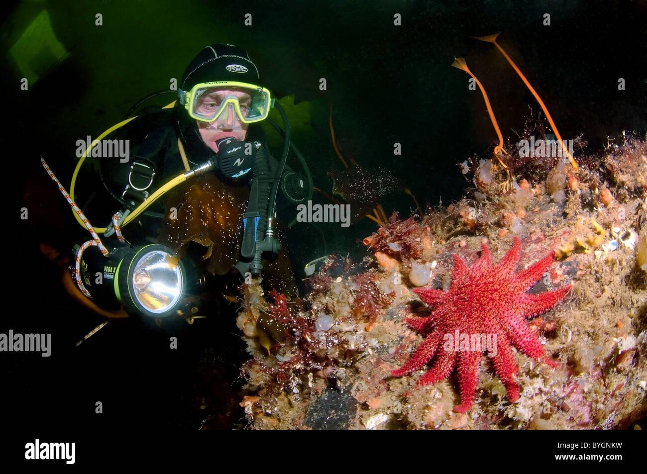 diver and starfish common sunstar (crossaster papposus) - Stock Image