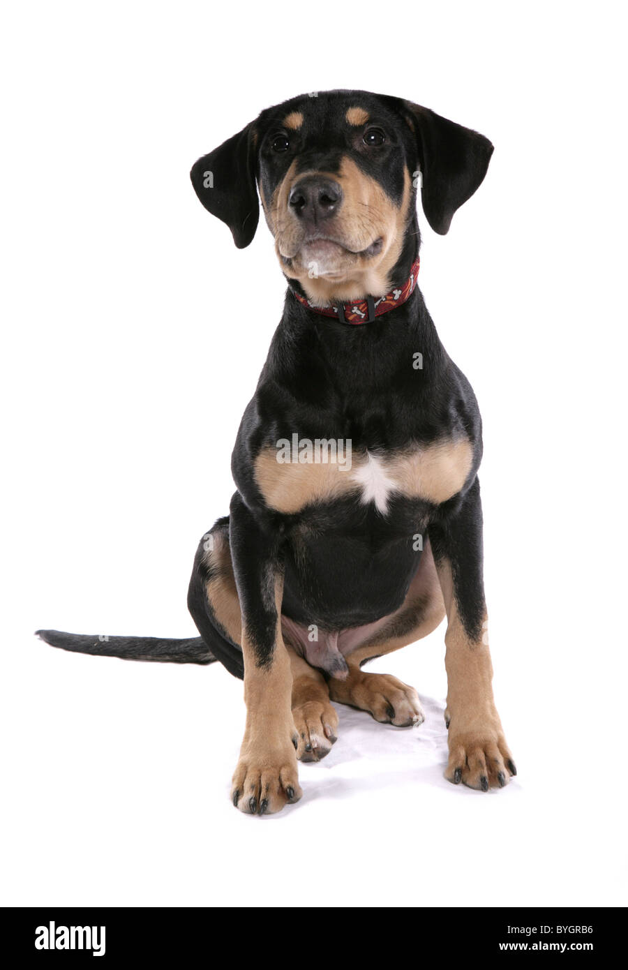 Dobermann Puppy Single young male sitting studio - Stock Image