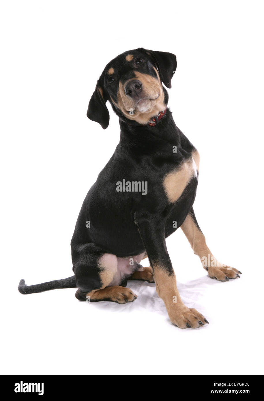 Doberman Puppy Single young male sitting studio - Stock Image