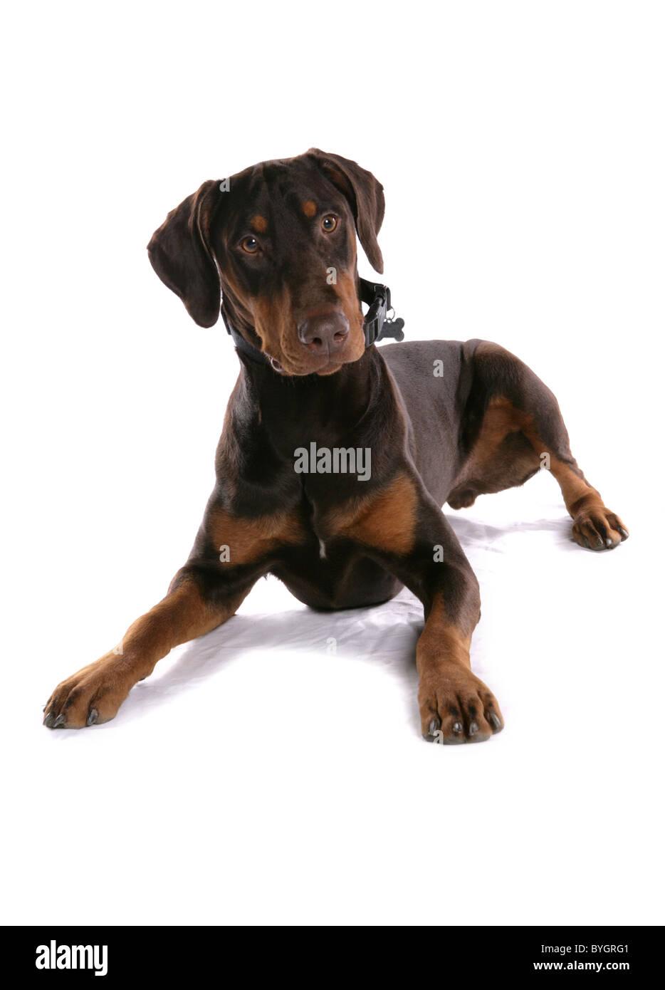 Dobermann Dog Single adult male laying studio - Stock Image