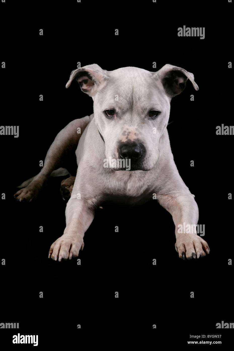 Staffordshire bull terrier dog single adult male laying studio - Stock Image