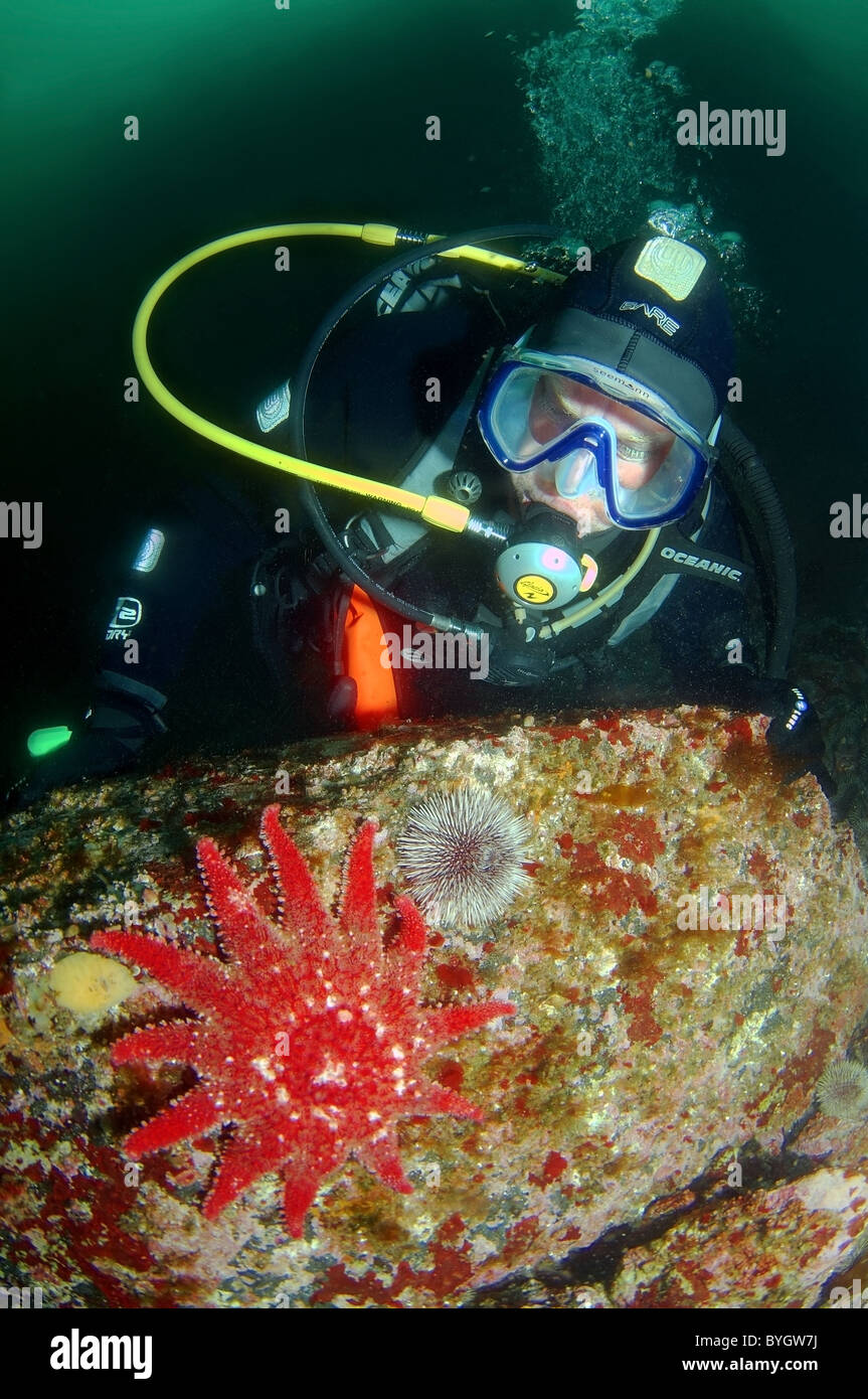 male scuba diver look at on starfish common sunstar (crossaster papposus) - Stock Image