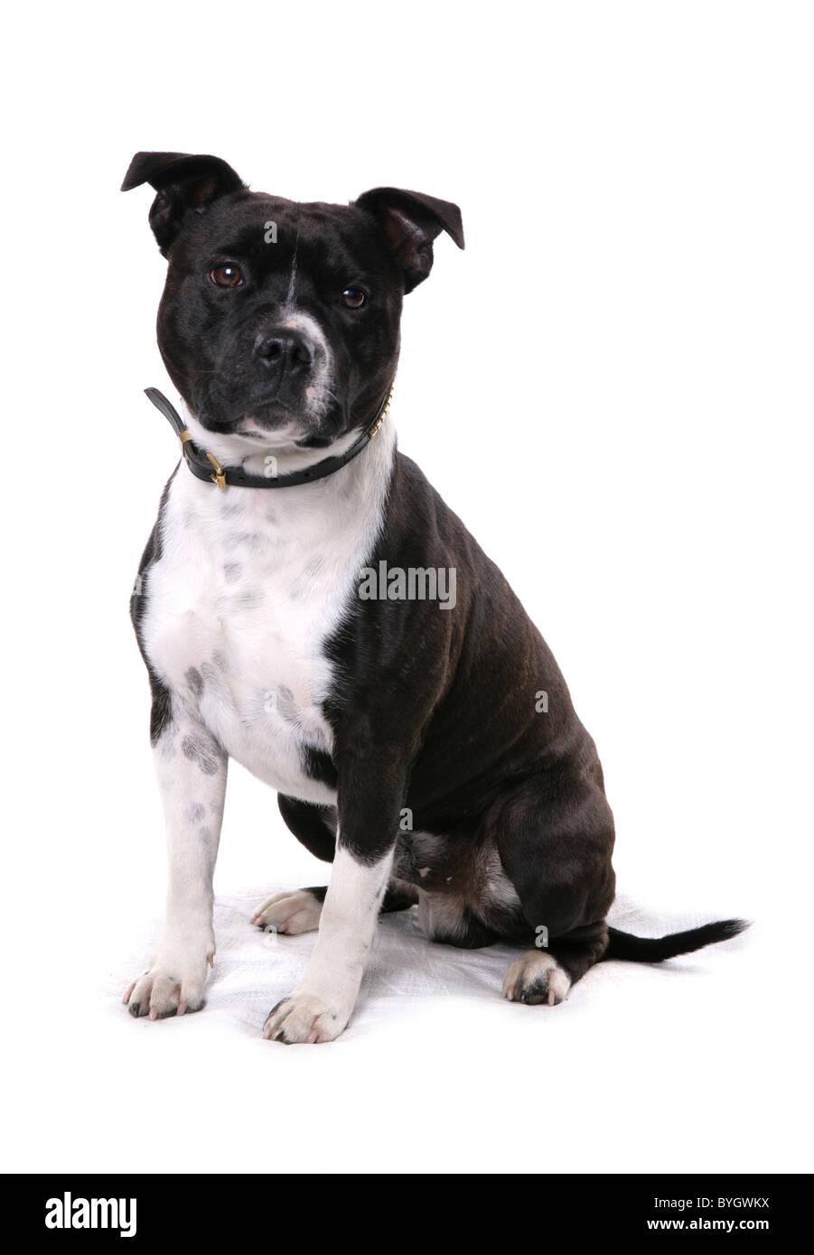 Staffordshire Bull Terrier Dog Single Female Adult Sitting Studio - Stock Image