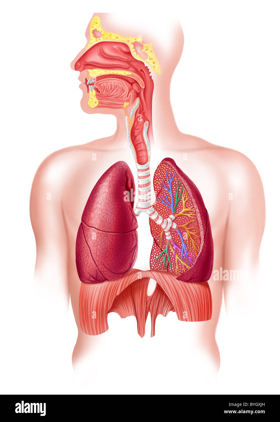 Human Full Respiratory System Cross Section Stock Photo 34178217