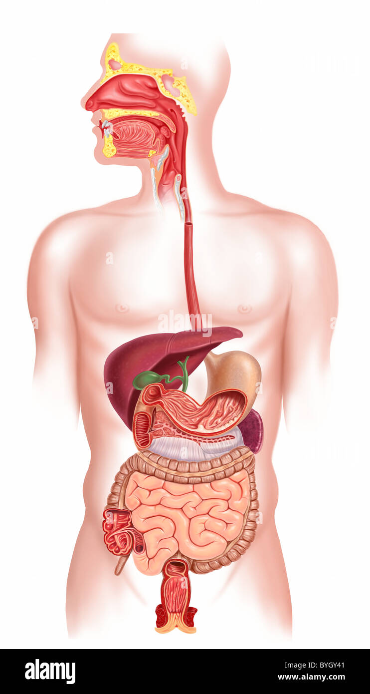 Digestive System Diagram Stock Photos Digestive System Diagram