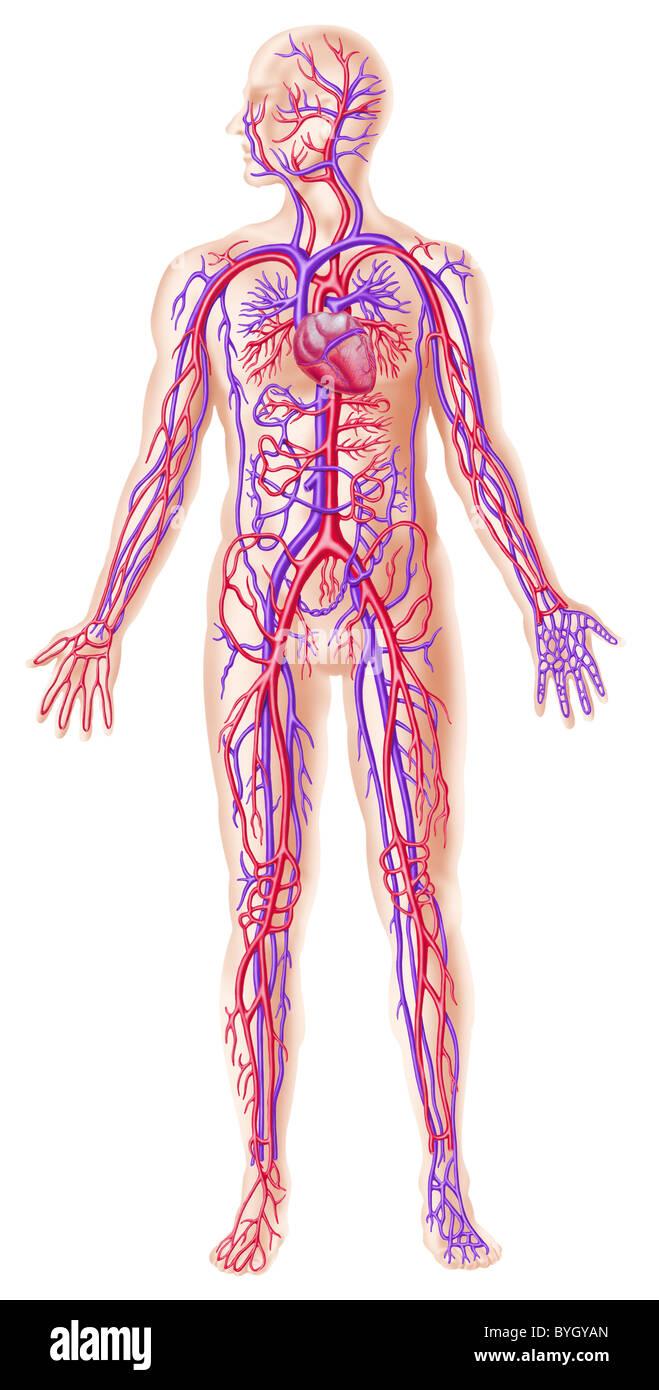 Human circolatory system cross section - Stock Image