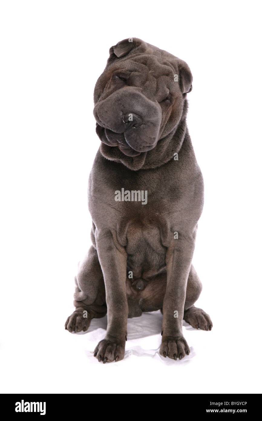 shar pei dog sitting studio - Stock Image