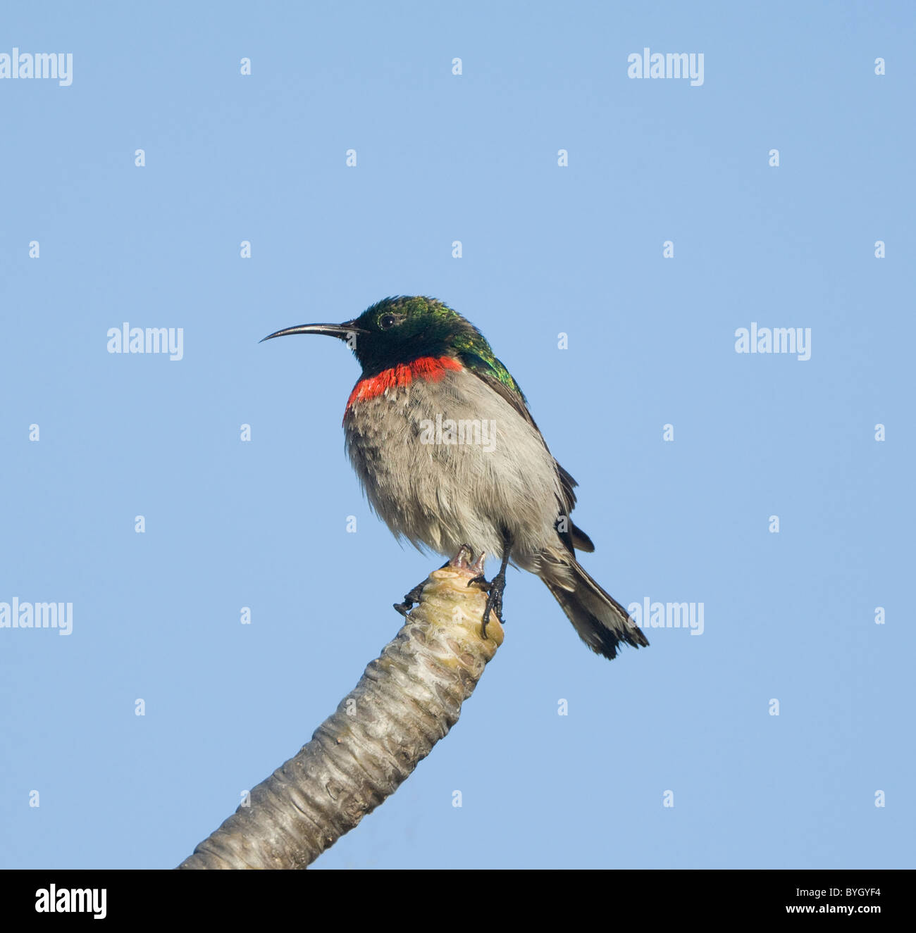 Male Southern Lesser Double-Collared Sunbird (Cinnyris chalybeus), Namaqualand, Northern Cape, South Africa - Stock Image