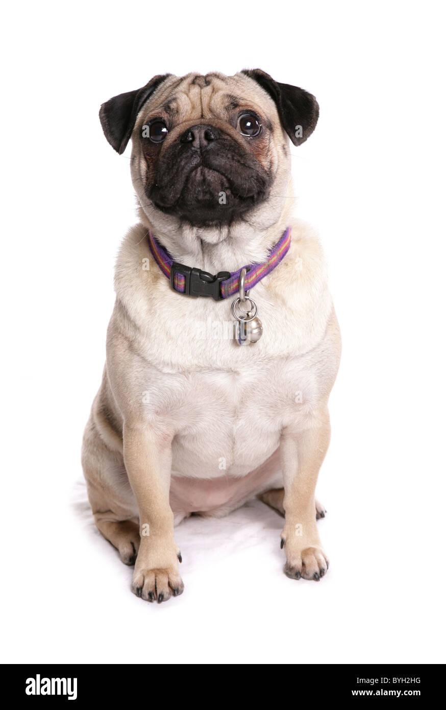 Pug Dog Single Adult female sitting studio - Stock Image