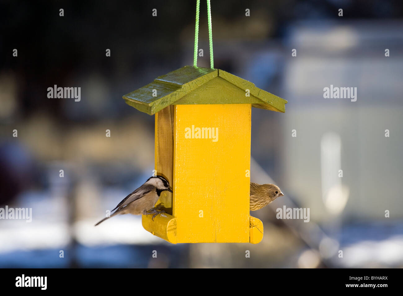 A chickadee and a house fince feed from a yellow bird feeder on a winter day - Stock Image