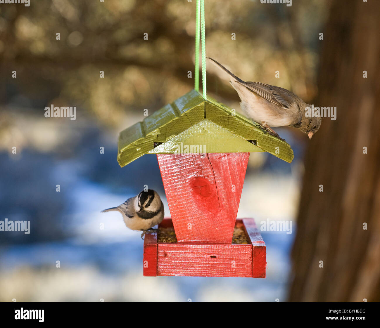A mountain chickadee and a female house finch feed from a bird feeder - Stock Image