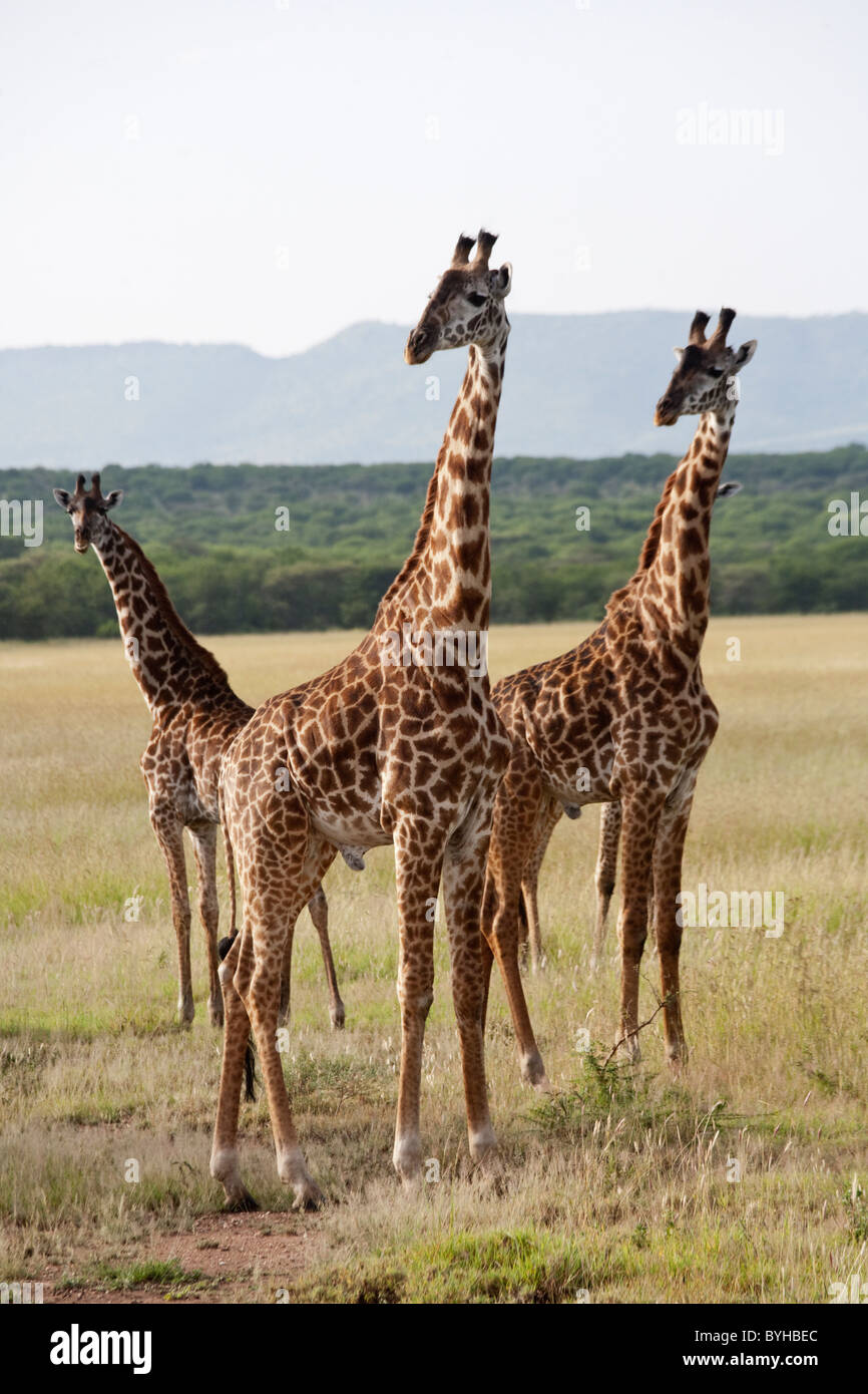 Giraffes in Serengeti National Park, Tanzania, Africa - Stock Image