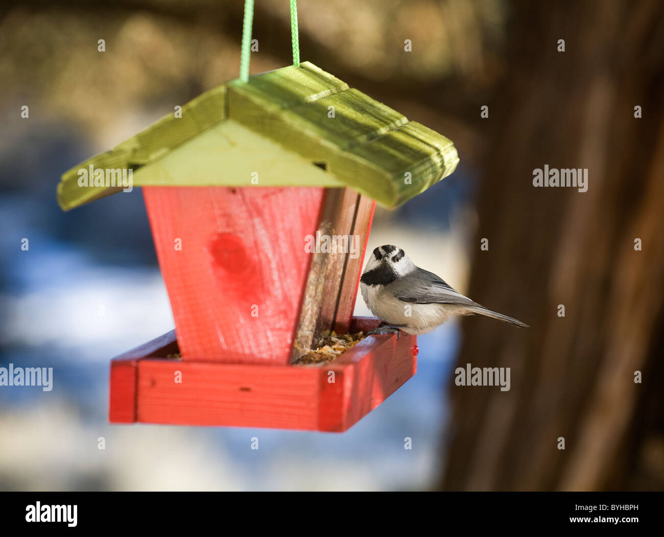 Mountain chickadee, Parus gambeli, on a bird feeder - Stock Image