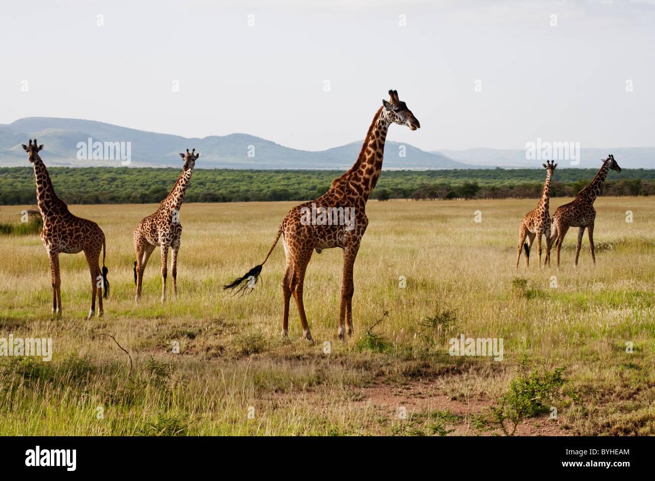Giraffes grazing in Serengeti National Park, Tanzania, Africa - Stock Image