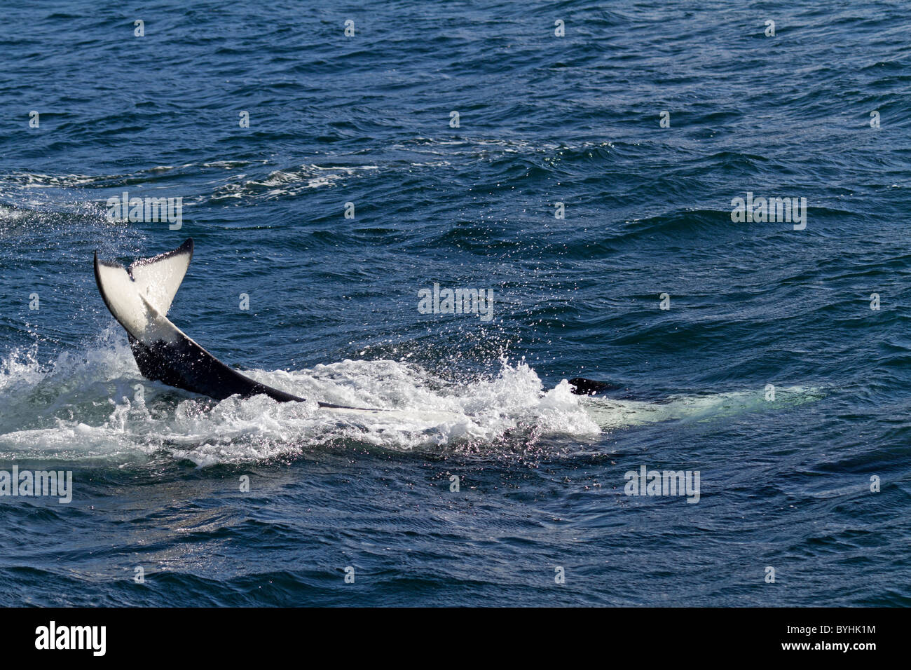 Orca (Orcinus orca) - Stock Image