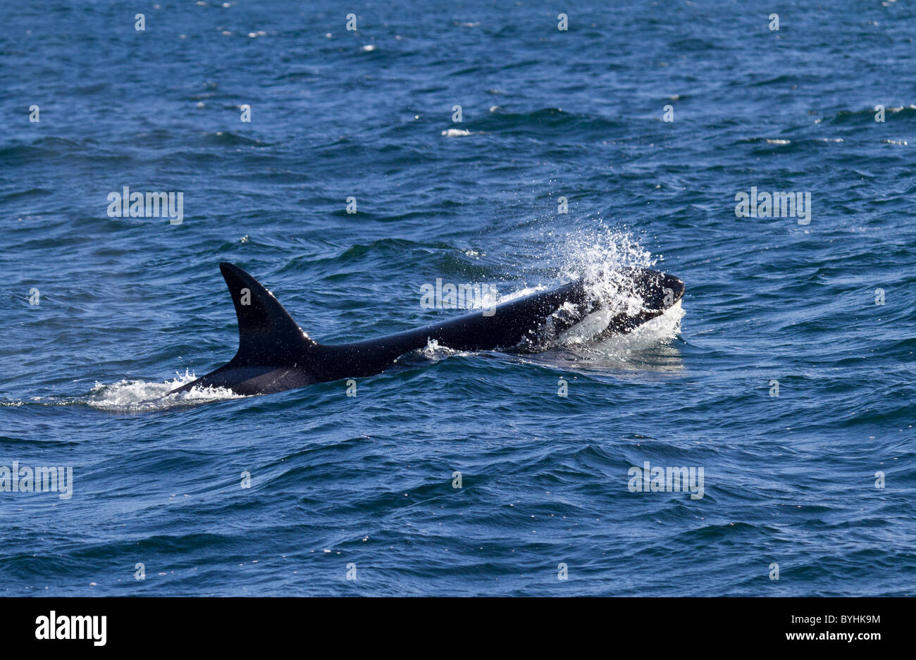 Orca ( Orcinus orca) - Stock Image